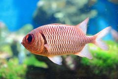 Purple spotted bigeye Stock Images