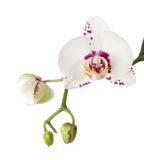 A Purple Spotted or Splotched Phalaenopsis. Royalty Free Stock Image