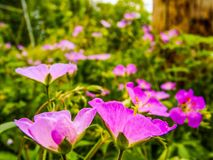 Purple Spread. A bed of purple flowers Royalty Free Stock Photo