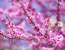 Purple Spring Blossom. Cercis Canadensis or Eastern Redbud. Flowers Royalty Free Stock Images