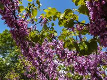 Purple spring blossom of Eastern Redbud, or Eastern Redbud Cercis canadensis n sunny day. Selective focus. Nature concept for design stock photography