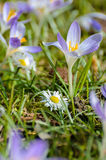 Purple spring crocus beside a daisy. In the gras Stock Image