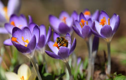 Purple spring crocus and a honey-bee collecting pollen. Spring crocuses in bloom and a bee working on pollination and collecting pollen Royalty Free Stock Photo