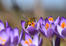 Purple spring crocus and honey-bee collecting Pollen. Crocus  is a genus of flowering plants in the iris family. This Honey-bee is collecting the pollen on the Royalty Free Stock Photo