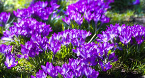 Purple spring crocus in March. Blooming groups of purple spring crocus in March Royalty Free Stock Photography