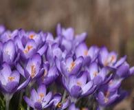 Purple Spring crocuses. In bloom royalty free stock photo