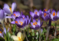 Purple spring crocuses Stock Images