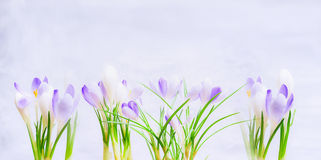 Purple spring crocuses flowers on light  blue background. Stock Photo