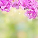 Purple spring flower Bougainvillea blooming over nature green background. For wedding and valentine card with copy space Royalty Free Stock Image