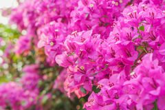 Purple spring flower & x28;Bougainvillea& x29; branches closeup. Beautiful purple spring flower & x28;Bougainvillea& x29; branches closeup soft Stock Photo