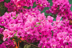 Purple spring flower & x28;Bougainvillea& x29; branches closeup. Beautiful purple spring flower & x28;Bougainvillea& x29; branches closeup soft Stock Photography