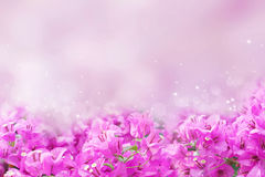 Purple spring flower Bougainvillea on sweet purple background. Purple spring flower Bougainvillea on sweet purple and bokeh background with copy space Stock Images