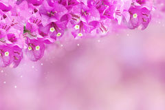 Purple spring flower Bougainvillea on sweet purple background with copy space. Idea for wedding invitation card or valentine`s day Royalty Free Stock Photo