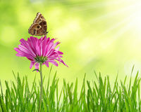 Purple spring flower with butterfly. Purple spring flower with dewy grass and butterfly Stock Photography