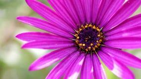 Purple Spring Flower stock video footage