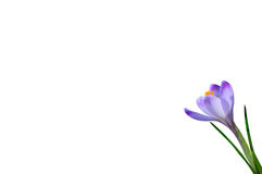Purple spring flower crocus isolated on white background. Purple spring flower crocus with drops of dew isolated on white background Stock Images