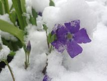 A Purple Spring Flower with Grass and Snow. A beautiful delicate purple flower with sprigs of spring grass covered in beautiful white snow Royalty Free Stock Photos