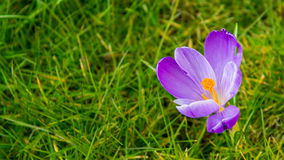 Purple spring flower in green grass background. Small purple flower peeping through the grass Stock Images