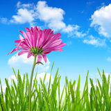Purple spring flower. With green grass on blue sky Stock Photography