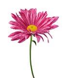 Purple spring flower Royalty Free Stock Photos