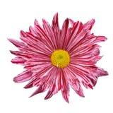 Purple spring flower Stock Image