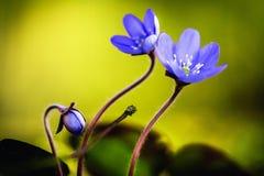 Purple Spring Flower Stock Photos
