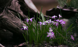 Purple spring flower. Nature spring decoration. Purple flower  in grass Royalty Free Stock Photos
