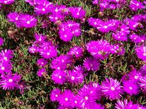 Purple spring flower patch in the sun 4k. Colored flowers in sunshine in UHD Royalty Free Stock Photography