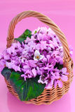Purple spring flowers. In a basket on pink background Stock Image