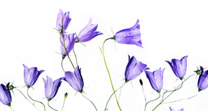 Purple spring flowers. Against white background Royalty Free Stock Photo
