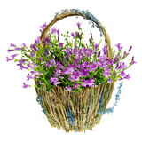 Purple spring flowers in a basket. Isokated over white background Royalty Free Stock Image