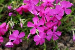 Purple spring flowers. Beautiful purple spring flowers outdoors Royalty Free Stock Photo