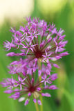 Purple spring flowers. Beautiful purple spring flowers outdoors Stock Photography