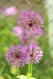 Purple spring flowers. Beautiful purple spring flowers outdoors Stock Images