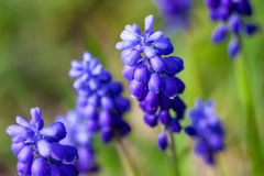 Purple spring flowers Royalty Free Stock Photography