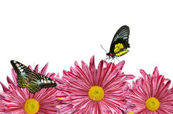 Purple spring flowers with butterflies Royalty Free Stock Photo
