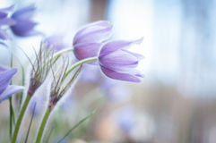 Purple spring flowers Stock Photography