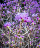 Purple Spring Flowers. Closeup shot of purple spring flowers Stock Image