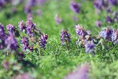 Purple spring flowers. Corydalis purple spring flowers wild Royalty Free Stock Photos