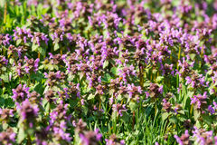 Purple Spring Flowers Field Blossom. In Spring Stock Images