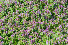 Purple Spring Flowers Field Blossom. In Spring Royalty Free Stock Photo