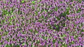 Purple Spring Flowers Field stock footage