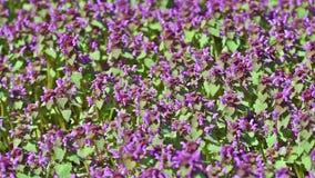 Purple Spring Flowers Field stock video