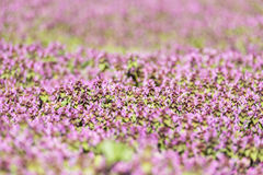 Purple Spring Flowers Field Blossom. In Spring Stock Image