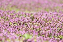 Purple Spring Flowers Field Blossom Stock Image