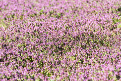 Purple Spring Flowers Field Blossom. In Spring Royalty Free Stock Images