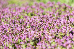 Purple Spring Flowers Field Blossom. In Spring Stock Photography