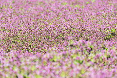Purple Spring Flowers Field Blossom. In Spring Royalty Free Stock Image