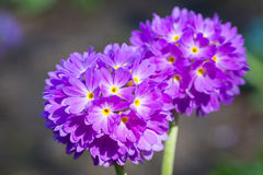 Purple spring flowers Stock Images