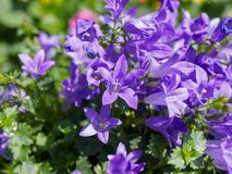 Purple spring flowers in the garden. Purple spring flowers with blur background in the garden Stock Photo